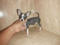 Chihuahua Puppies for sale in Philadelphia, PA, USA. price: NA
