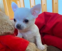 Chihuahua Puppies for sale in Chinatown, New York, NY, USA. price: NA