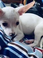 Chihuahua Puppies for sale in West Allis, WI, USA. price: NA