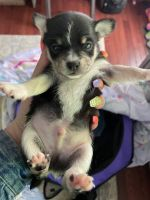 Chihuahua Puppies for sale in 2055 Forest Lake Dr, East Stroudsburg, PA 18302, USA. price: NA
