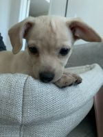 Chihuahua Puppies for sale in Honolulu, HI 96813, USA. price: NA
