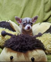 Chihuahua Puppies for sale in Shamokin, PA 17872, USA. price: NA