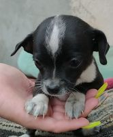 Chihuahua Puppies for sale in Lake View Terrace, CA 91342, USA. price: NA