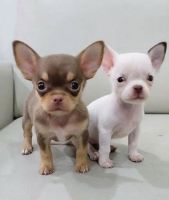 Chihuahua Puppies for sale in Beaver Dam, WI 53916, USA. price: NA