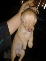 Chihuahua Puppies for sale in 1711 W Old Ridge Rd, Hobart, IN 46342, USA. price: NA