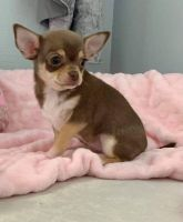 Chihuahua Puppies for sale in Arizona City, AZ 85123, USA. price: NA