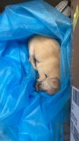 Chihuahua Puppies for sale in Bakersfield, CA, USA. price: NA