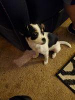 Chihuahua Puppies for sale in Cowlitz County, WA, USA. price: NA