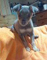 Chihuahua Puppies for sale in Gray, KY 40734, USA. price: NA