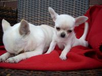 Chihuahua Puppies for sale in Denver, Irvine, CA 92604, USA. price: NA