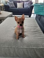 Chihuahua Puppies for sale in Fort Myers, FL, USA. price: NA