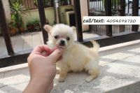 Chihuahua Puppies for sale in Westwood, NJ 07675, USA. price: NA