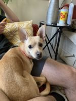 Chihuahua Puppies for sale in Holly Springs, NC, USA. price: NA