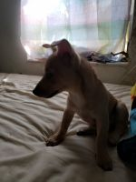 Chihuahua Puppies for sale in Homestead, FL, USA. price: NA