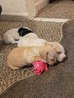 Chihuahua Puppies for sale in Peoria, AZ, USA. price: NA