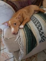 Chihuahua Puppies for sale in Bell Gardens, CA 90201, USA. price: NA