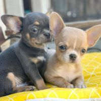Chihuahua Puppies for sale in Chicago, IL 60631, USA. price: NA