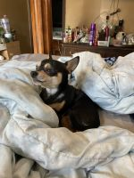 Chihuahua Puppies for sale in Topeka, KS, USA. price: NA