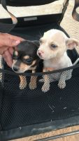 Chihuahua Puppies for sale in Phoenix, AZ 85033, USA. price: NA