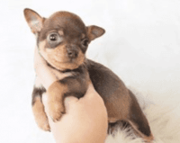 Chihuahua Puppies for sale in California City, CA, USA. price: NA