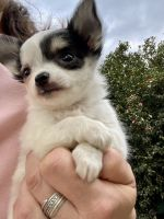 Chihuahua Puppies for sale in Boiling Springs, SC 29316, USA. price: NA