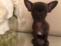 Chihuahua Puppies for sale in Lehigh Acres, FL, USA. price: NA