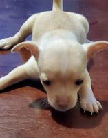 Chihuahua Puppies for sale in Hiddenite, NC 28636, USA. price: NA