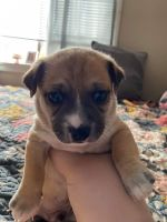 Chihuahua Puppies for sale in South Bend, IN, USA. price: NA