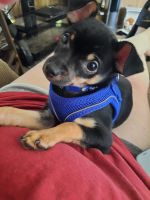 Chihuahua Puppies for sale in Belleville, IL, USA. price: NA