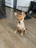Chihuahua Puppies for sale in North Hollywood, Los Angeles, CA, USA. price: NA
