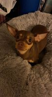 Chihuahua Puppies for sale in Grand Rapids, MI, USA. price: NA