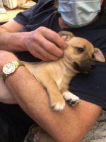 Chihuahua Puppies for sale in Wichita, KS, USA. price: NA