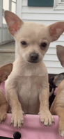 Chihuahua Puppies for sale in Sherwood, OH 43556, USA. price: NA