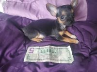 Chihuahua Puppies for sale in Stuart, IA 50250, USA. price: NA