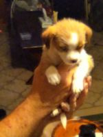 Chihuahua Puppies for sale in Denham Springs, LA 70706, USA. price: NA