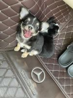 Chihuahua Puppies for sale in Killeen, TX, USA. price: NA
