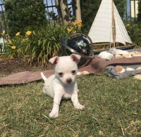 Chihuahua Puppies for sale in Myrtle Beach, SC 29579, USA. price: NA