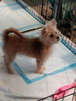 Chihuahua Puppies for sale in Rialto, CA, USA. price: NA