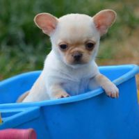 Chihuahua Puppies for sale in TN-1, Nashville, TN, USA. price: NA