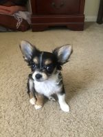 Chihuahua Puppies for sale in Darlington, SC 29532, USA. price: NA
