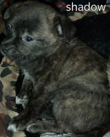Chihuahua Puppies for sale in Jacksonville, FL 32254, USA. price: NA