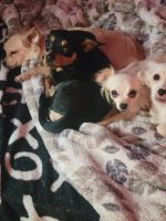 Chihuahua Puppies for sale in Federal Way, WA, USA. price: NA