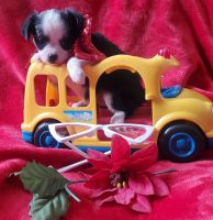 Chihuahua Puppies for sale in Southwest City, MO 64863, USA. price: NA