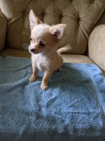 Chihuahua Puppies for sale in Fostoria, OH 44830, USA. price: NA