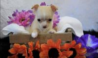 Chihuahua Puppies for sale in Boulder, CO, USA. price: NA