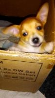 Chihuahua Puppies for sale in 4133 E Moreland St, Phoenix, AZ 85008, USA. price: NA