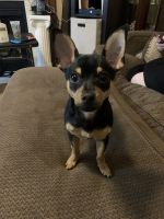 Chihuahua Puppies for sale in Fountain Inn, SC 29644, USA. price: NA