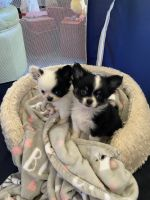 Chihuahua Puppies for sale in Soquel, CA, USA. price: NA