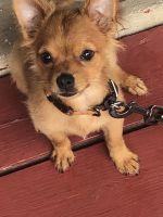Chihuahua Puppies for sale in 606 W Lea Blvd, Wilmington, DE 19802, USA. price: NA