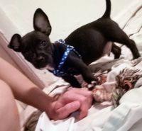 Chihuahua Puppies for sale in Miami, FL, USA. price: NA